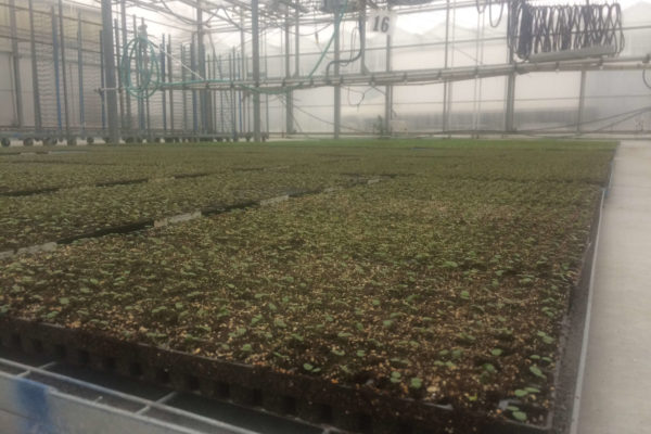 Germinated Pansies in 288 Tray