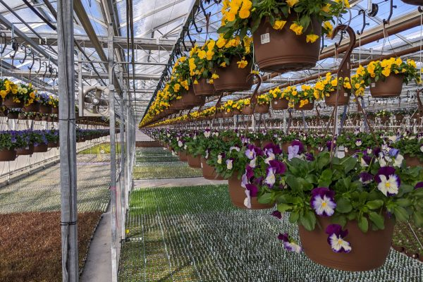 10 in. Pansy Basket Crop