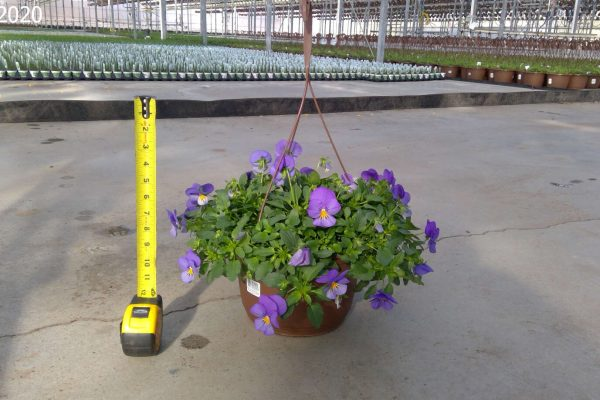 10 in. Pansy Baskets