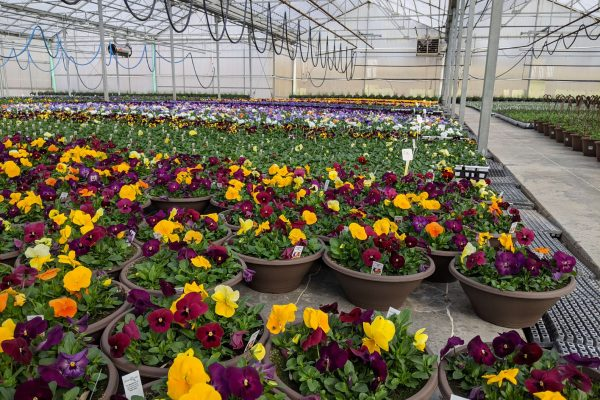 Viola and Pansy Crop