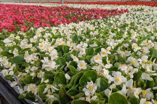 606 Begonia Crop