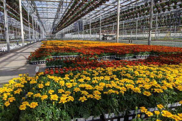 606 Marigold Crop