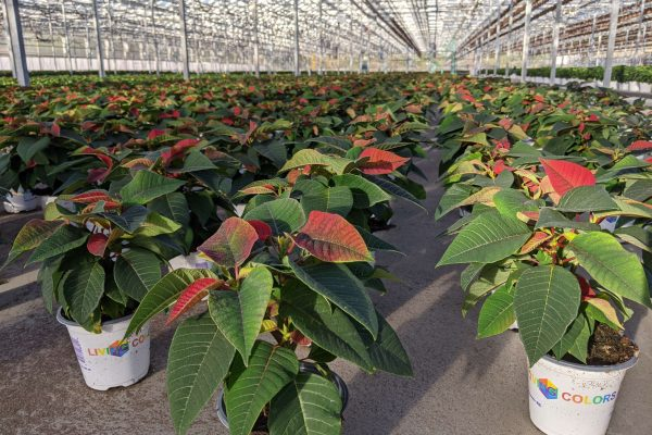 4in Poinsettia Coloring Up!