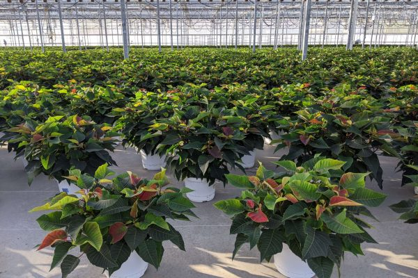 8in Poinsettia Crop Coming Along!