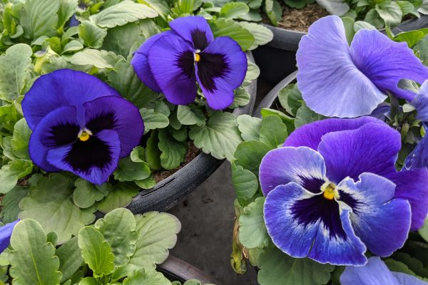 Blue Blotch and Blue Wing Pansy Blooms