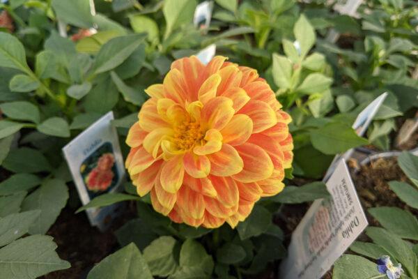 Beautiful Dahlia Bloom