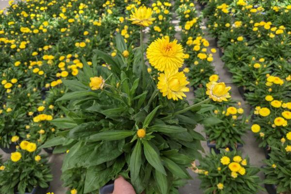Straw Flower Small Square Planter