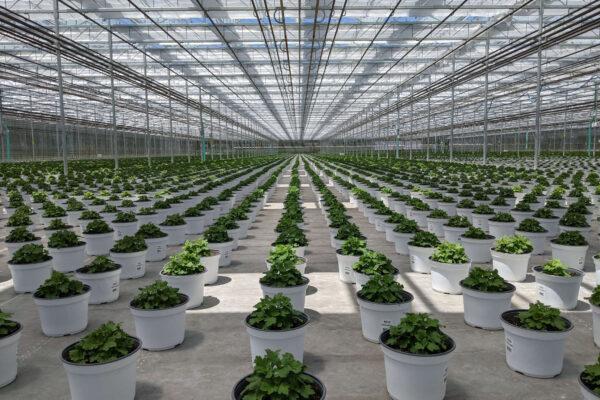8in Mum Crop in New Greenhouse