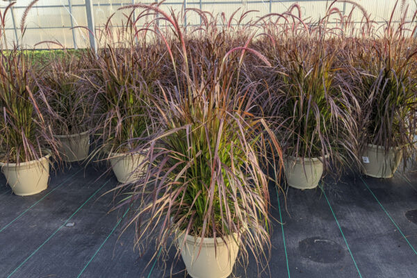 Purple Fountain Grass in Large Round Pot